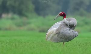 A walk through the land of Sarus Cranes - Dhanauri Wetlands