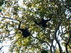 Gibbon in Natural habitat