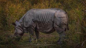 The Great Indian One-Horned Rhino