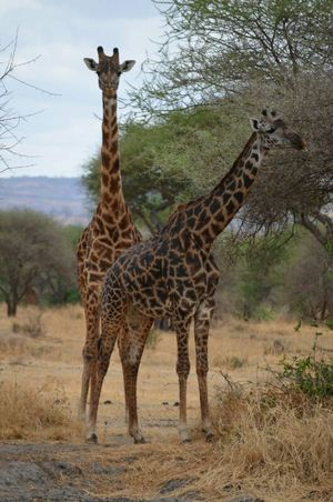 Wildlife Safari: Tanzania