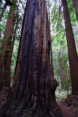 Visit the best Redwood Tree forest near San Francisco - Muir Woods