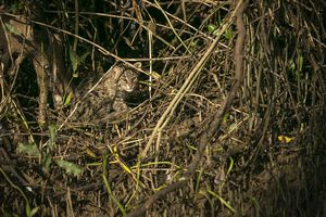 On the trail of the elusive Fishing Cat (Coringa Wildlife Sanctuary)