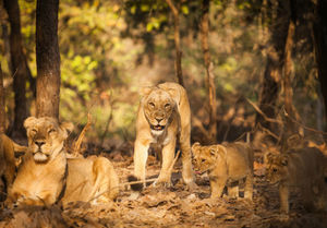 Gir National Park 1/undefined by Tripoto