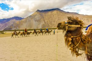 Famous double hump camel ride in Nubra valley.