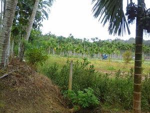 Wayanad- land of paddy Fields