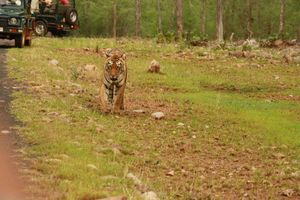 Choti Tara of Tadoba, she is one of the tigeress of the reserve. Theme:Wildlife