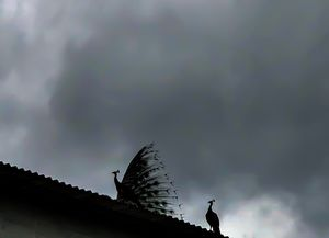 #BestTravelPictures. Silhouette of a beautiful couple Peacock & Peahen - Wildlife !