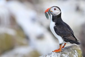 The beautiful puffin carrying food for its babies at farne Island, United Kingdom #besttravelpicture