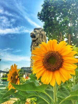 Merlion statue & the sunflower beauty