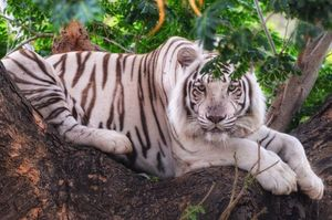 Travel to capture the wild side of the world !! My favourite, The White Tiger #BestTravelPictures