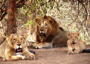 In search of Asiatic Lion: Gir Jungle Trails