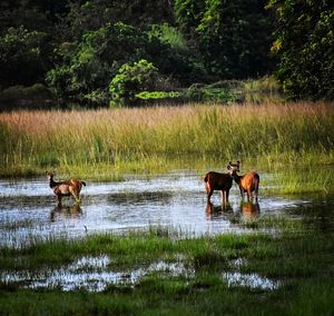 Deers at kaziranga ,eye candy and travellers love