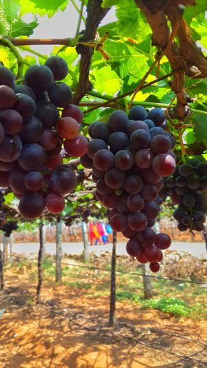 The Grape Vineyards of Cumbum Valley