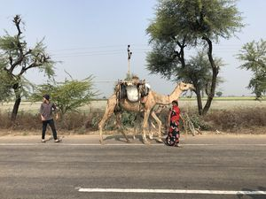 #Babycamel behind the mumma camel. #on the way to Jaipur. #BestTravelPictures #tripotocommunity.