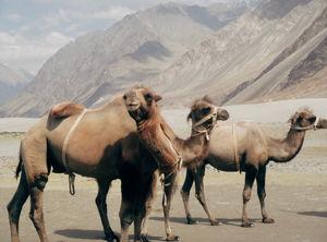 Camels Safari In Ladakh - Its Uniqueness