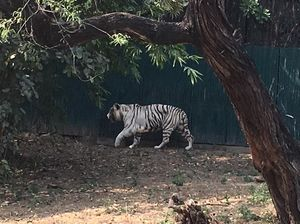 A trip to Delhi Zoo - Bengal White Tiger