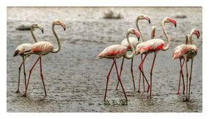 Group of flamingo...in khambhat trip