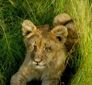 Lion cub fighting to stay awake and watch the very interesting human beings buzzing.