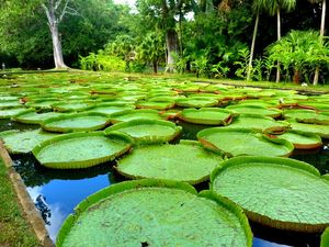 Giant water lilies from the land of Mauritius #besttravelpicture @triptocommunity