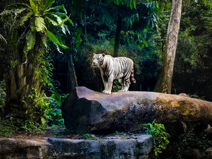 "White Tiger At Singapore Zoo. Awarded as Asia's Best Zoo, this ""Open Concept"" zoo is one of its kind"
