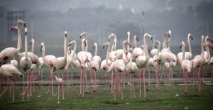 Bhigwan : The Flamingo Paradise near Pune. Pink Passionate Pure. ❤️