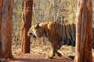 My Wildlife Trip to Tadoba – 3 Days
