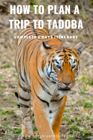 How To Plan a trip to Tadoba, Maharashtra - A Complete 4 days Itinerary. #offbeatgetaway