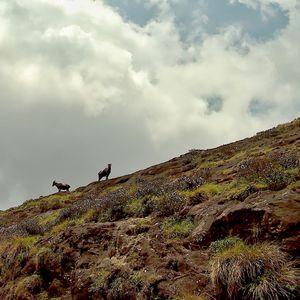 The Nilgiri Tahr doing what it does best. Climb.