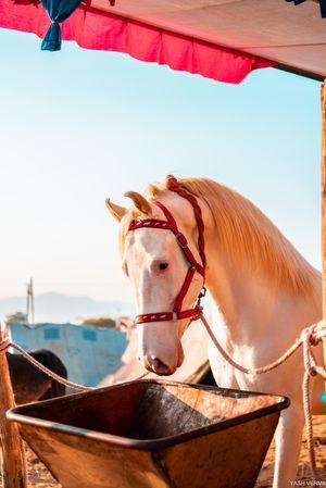 Pushkar fair 2018