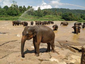 Getting up close with Elephants at Pinnawala Elephant Orphanage