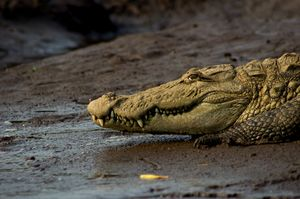 Crocodile Safari in Maharashtra - yes, believe it!