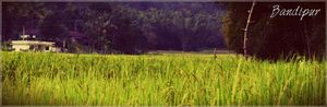 Wildlife in Bandipur