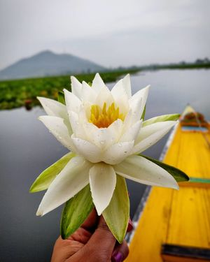 On a dewy morning on the Dal lake