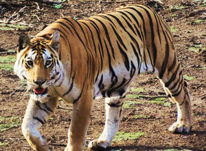A tigress' glint at Pench National Park