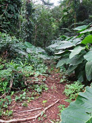Manoa Falls Trail 1/undefined by Tripoto