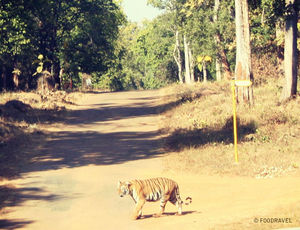 The Roaring Tunes of Tadoba
