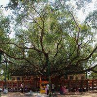 Bodhi Tree 3/11 by Tripoto
