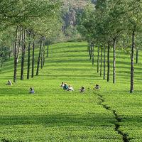 Tata Tea Plantations 2/2 by Tripoto