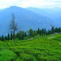 Temi Tea Garden 2/9 by Tripoto