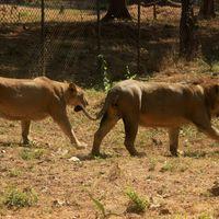Vasona lion safari 2/2 by Tripoto