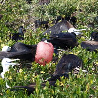 Frigate Bird Sanctuary 3/5 by Tripoto