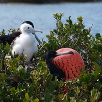 Frigate Bird Sanctuary 4/5 by Tripoto