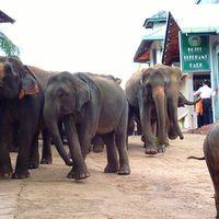 Pinnawala Elephant Orphanage 3/26 by Tripoto