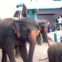 Pinnawala Elephant Orphanage 4/26 by Tripoto