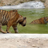 Tiger Temple Lum Sum Kanchanaburi Thailand 5/17 by Tripoto