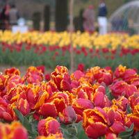 Tulip Garden 2/7 by Tripoto