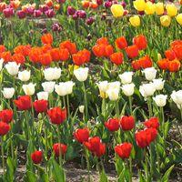 Tulip Garden 3/7 by Tripoto