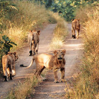 Gir National Park and Wildlife Sanctuary 5/23 by Tripoto