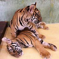 Tiger Kingdom 2/7 by Tripoto