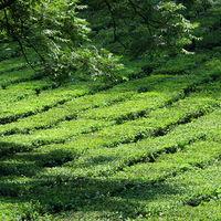 Tea Plantation 2/3 by Tripoto